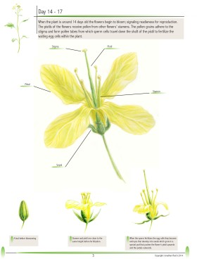 Brassica rapa: The Fast Plant pg.3