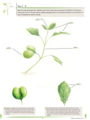 Brassica rapa: The Fast Plant pg.2