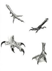 Avian Feet