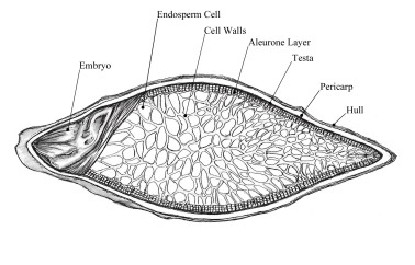 Barley Seed Cross-section